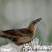 Female Boat Tailed Grackle Poster