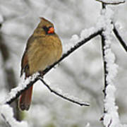 Female Cardinal 3656 Poster