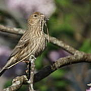 Female Finch Poster