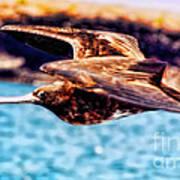 Female Frigate Bird Poster