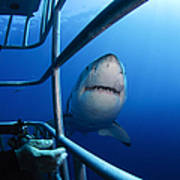 Female Great White And Underwater Poster