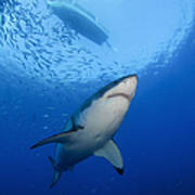 Female Great White, Guadalupe Island Poster