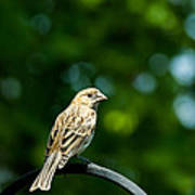 Female House Finch Perched Poster