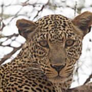 Female Leopard Close-up Poster