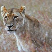 Female Lion Portrait Poster
