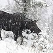 Female Moose In Snowy Forest, Gaspesie Poster