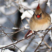 Female Northern Cardinal 4300 Poster