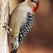 Female Red-bellied Woodpecker 5 Poster