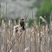 Female Redwinged Blackbird Poster