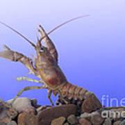 Female Rusty Crayfish Poster