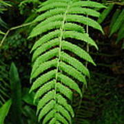 Fern Frond 0576 Poster