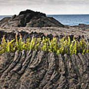 Ferns Growing From A Crack In The Lava Poster