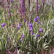 Field Of Bearded Iris Poster