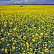 Field Of Canola Poster