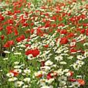 Field Of Daisies And Poppies. Poster