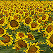 Field Of Domestic Sunflowers Poster by Kenneth M Highfill and Photo Researchers