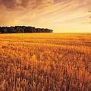 Field Of Grain Stubble Near St Poster