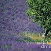 Field Of Lavender Poster