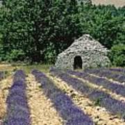 Field Of Lavender. Sault Poster by Bernard Jaubert