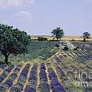 Field Of Lavender. Sault. Vaucluse Poster