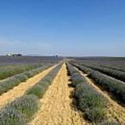 Field Of Lavender. Valensole Poster by Bernard Jaubert