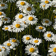 Field Of Oxeye Daisy Wildflowers Poster