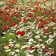 Field Of Poppies And Daisies In Limagne  Auvergne. France Poster