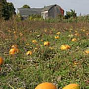 Field Of Pumpkins Poster