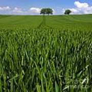 Field Of Wheat. Auvergne. France. Europe Poster