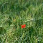 Field Of Wheat With A Solitary Poppy. Poster