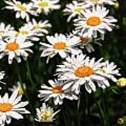 Field Of White Dasies Poster
