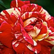 Fiesta Rose Poster