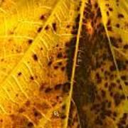 Fig Leaf Poster
