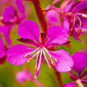 Fireweed Poster