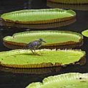 Fisher Bird On Giant Lily Pad In Pond Poster