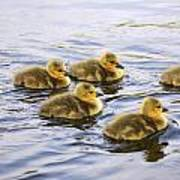 Five Goslings In The Water Poster