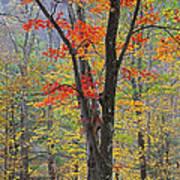 Flaming Fall Foliage Poster