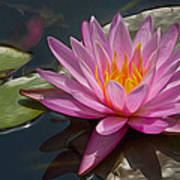 Flaming Waterlily Poster