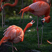 Flamingos Fight Poster