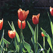 Flared Red Yellow Tulips Poster