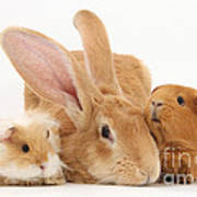 Flemish Giant Rabbit With Guinea Pigs Poster