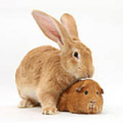 Flemish Giant Rabbit With Red Guinea Pig Poster
