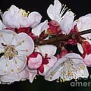 Fleurs D'abricotier Poster