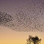 Flock Of European Starlings Poster