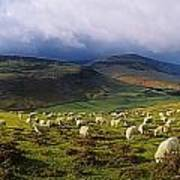 Flock Of Sheep Grazing In A Field Poster