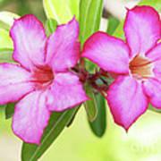 Floral Background. Desert Rose. Poster