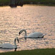 Florida Swans Poster