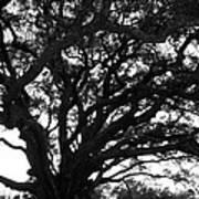 Florida Tree Poster