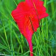 Flower Petal And Grass- St Lucia Poster
