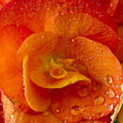 Flower Rieger Begonia 6 Poster